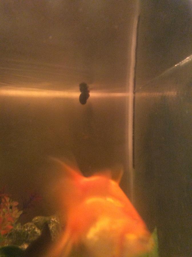 Where Lay Goldfish Do Eggs
