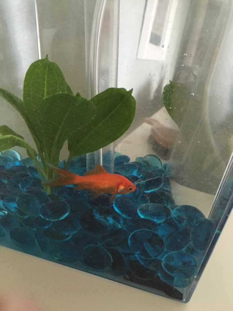 Can I Keep My Goldfish In His Current Location? | My ...