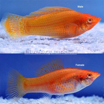 Image result for goldfish male vs female