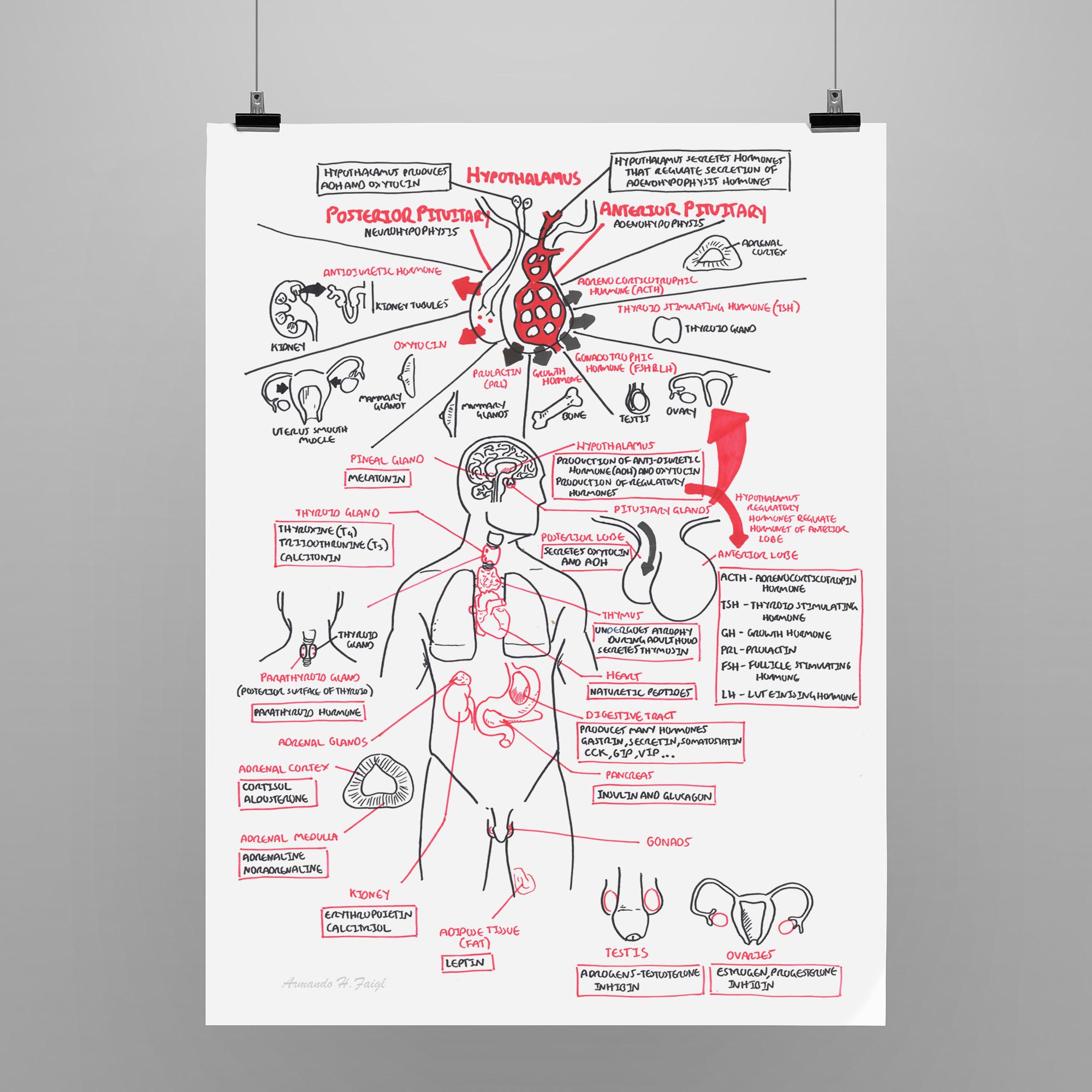 Endocrine Overview Armando Hasudungan Online Store