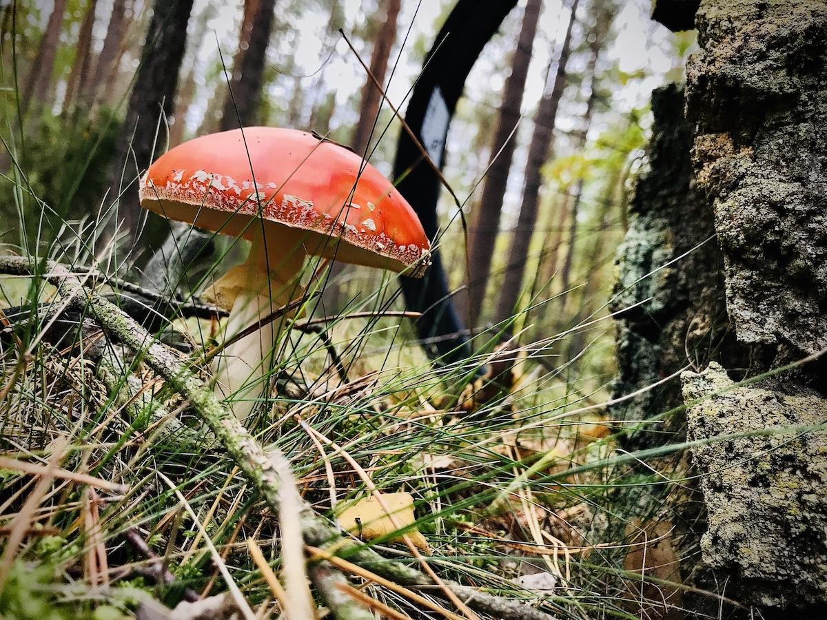 muchomorek w lesie