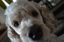 DAILY   A close-up of a certain Cockapoo.