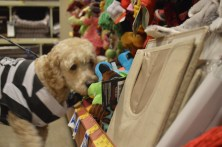 DAILY | Cockapoo sniffs around the toy collection on Halloween for his new favourite toy.