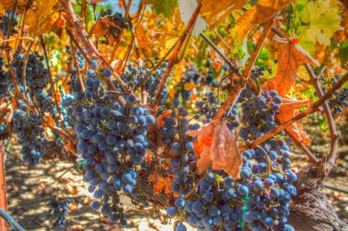 winegrapes2
