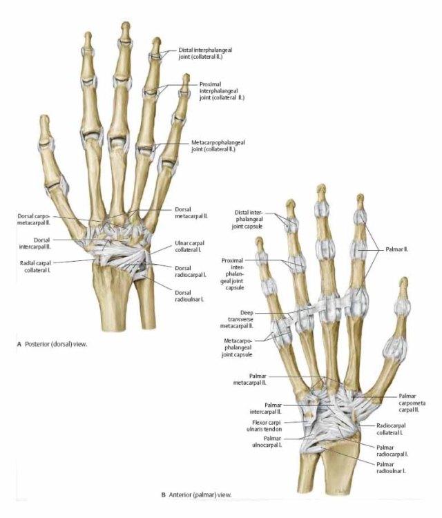 All bones in the hand