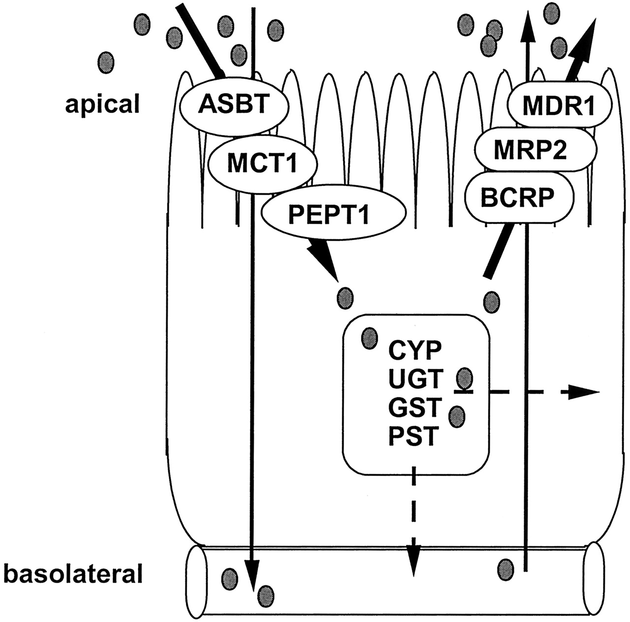 Modeling Of Intestinal Drug Absorption Roles Of