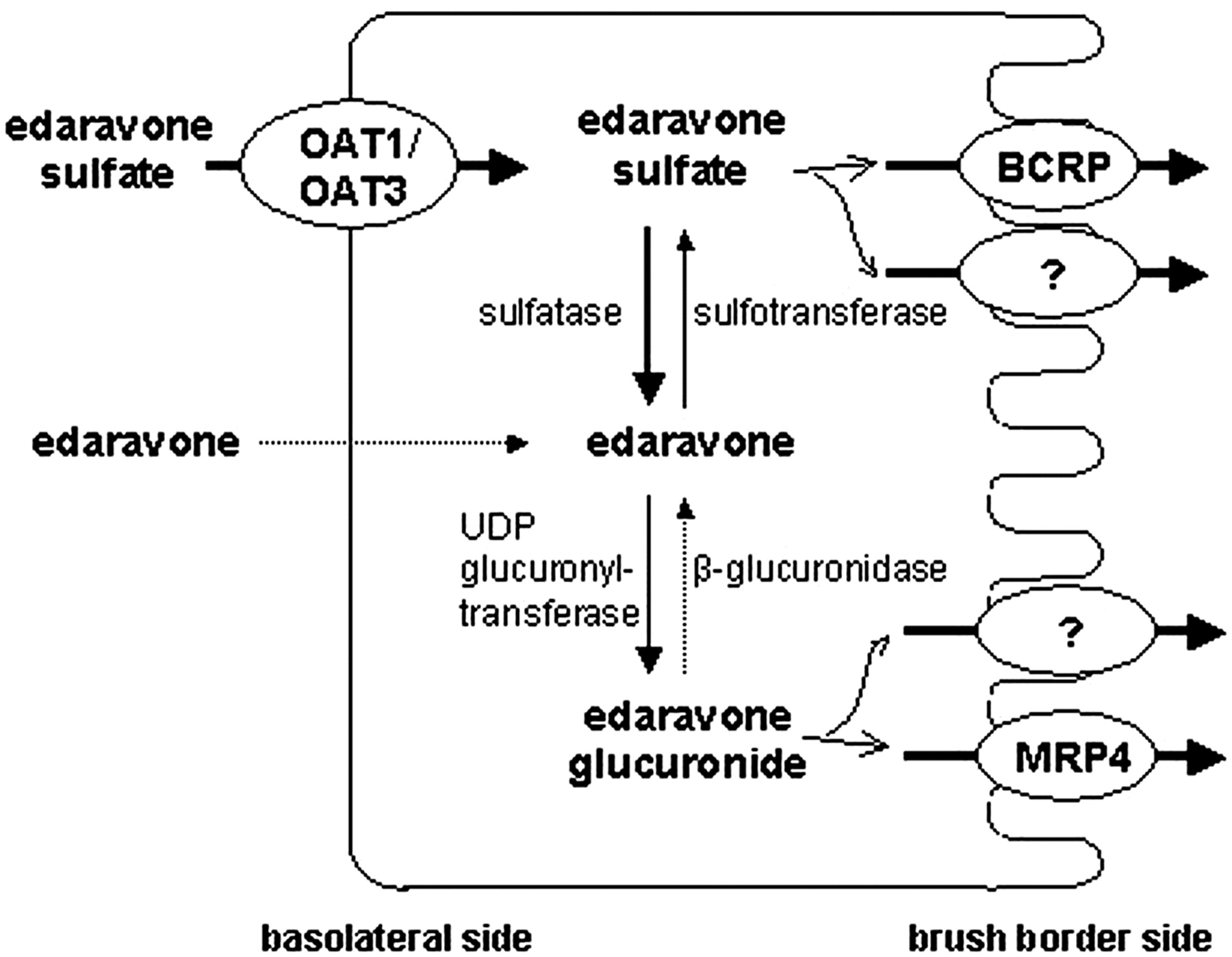 Evaluation Of The Role Of Breast Cancer Resistance Protein