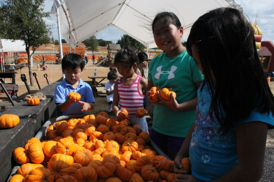 Kids check out the mini pumpkins at the Flower Mound Pumpkin Patch.