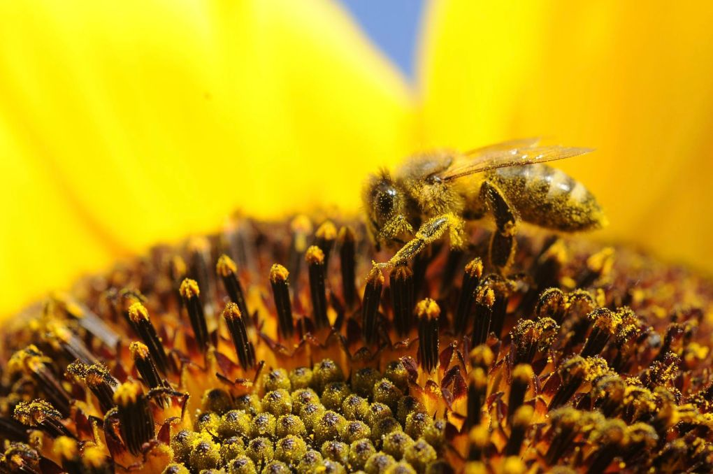 A bee collects pollen from a sunflower. (John Roark/The Idaho Post-Register via AP)