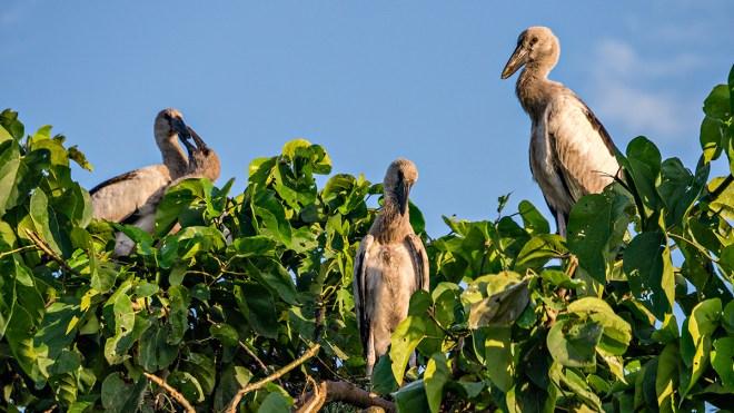 Unknown birds, Raiganj Bird Sanctuary, West Bengal
