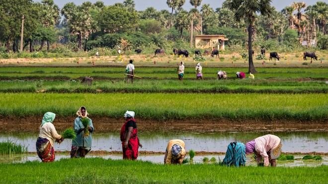 harvesting rice paddy
