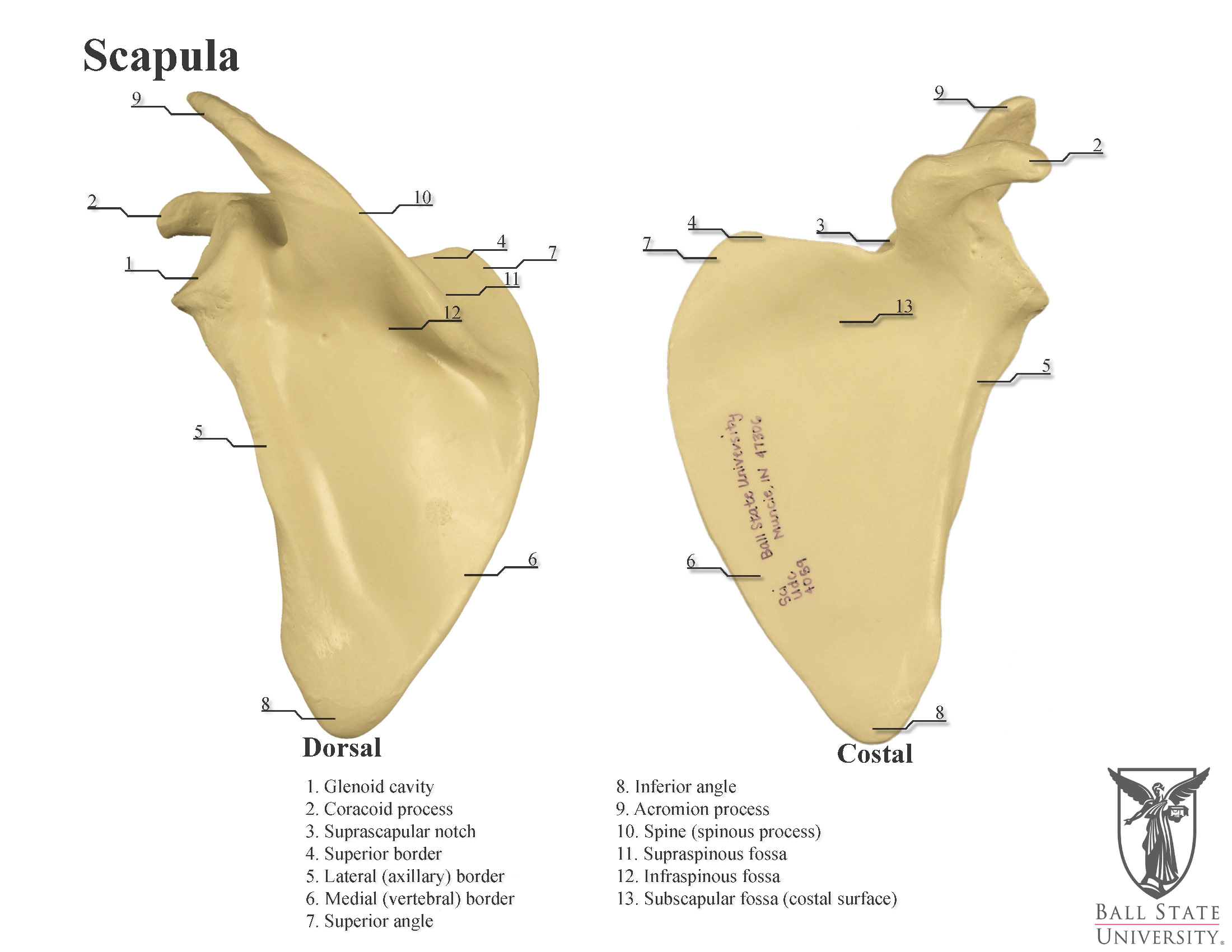 35 Blank Scapula To Label
