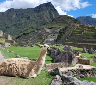 Llama at Machu Pichu