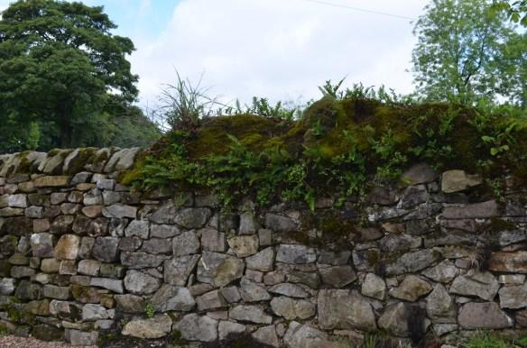 Rock wall fern