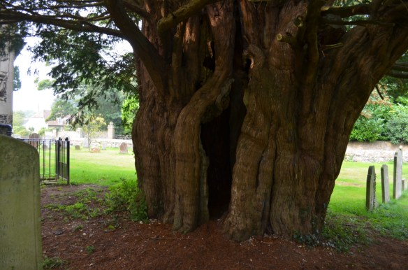 st nicholas ringwould hollow yew