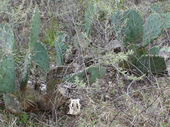 Boren cemetery cactus