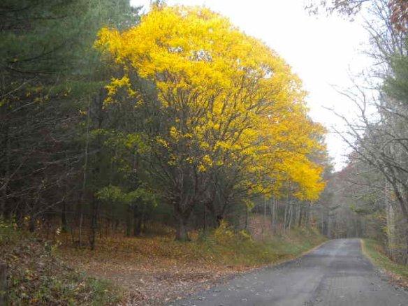 Brush creek yellow tree
