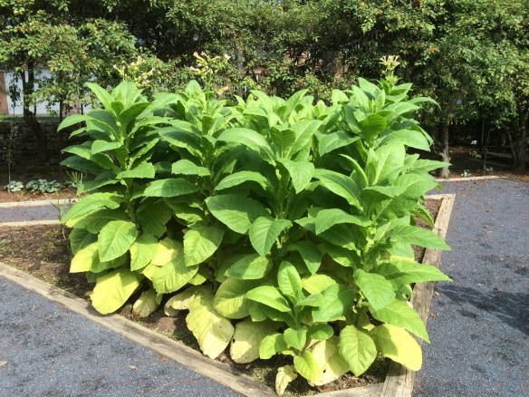 tobacco plants