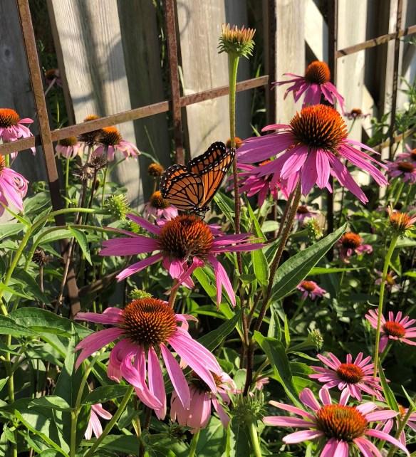 Kokomo garden butterfly.jpg
