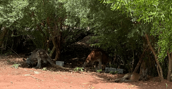 Australia Melbourne Healesville kangaroo.png