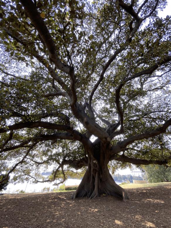 Australia Sydney tree.png