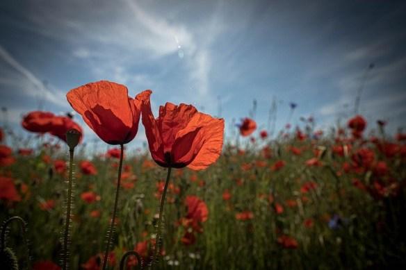 Memorial poppy field