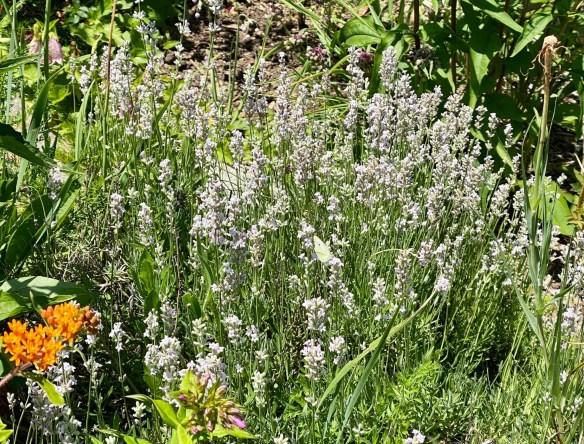 4th lavender.jpg