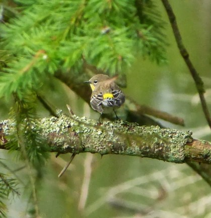 Yellow-rumped Warbler (no doubt about that rump!)