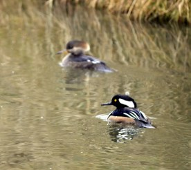 Hooded Merganser pair (GB)