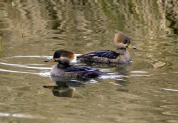 Hooded Mergansers (f) (GB)