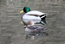 Hooded Merganser (f) & Mallard (m) (TC)