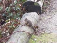 Douglas Squirrel (BD)