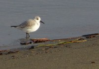 Sanderling (BK)