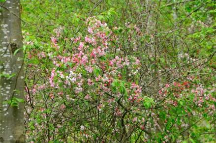 Apple blossom (KB)