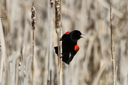 Red-winged Blackbird (m) (TC)