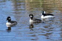 Buffleheads (TC)