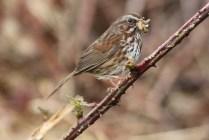 Song Sparrow (TC)