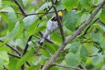 Yellow-rumped warbler - Audubon (TC)