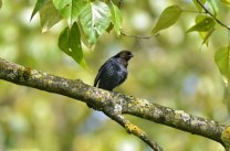 Brown-headed Cowbird (m) (GB)