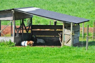 Billy goats (KB)