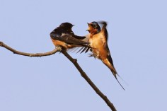 Barn Swallows (TC)