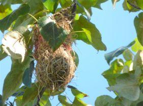 Bullock's Oriole Nest (RM)