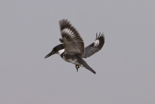 Belted Kingfisher, hovering (TC)