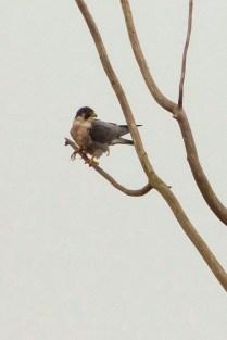 Peregrine Falcon (MS)