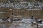 Ring-necked Duck (TC)