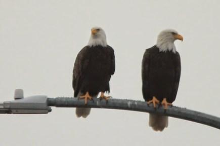 Bald Eagles (JK)