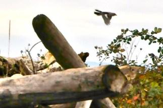 Northern Shrike (KB)