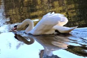 Mute Swan (MS)