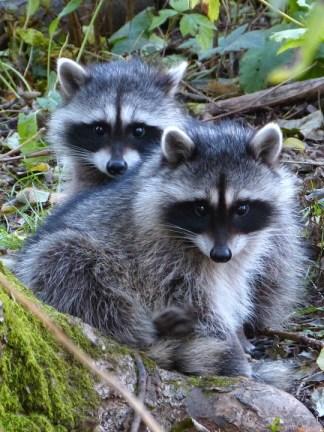 raccoons (MS)