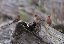 House Finches (TC)